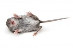 rat belly